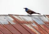 Grackle On A Cold Tin Roof DSCN52564