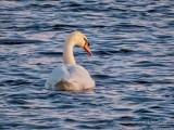 Mute Swan In Wind Roughened Water DSCN52661