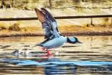 Male Bufflehead Duck Taking Flight DSCN52837