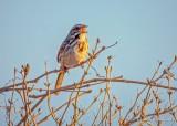 Song Sparrow Singing DSCN52909