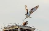 Osprey Delivering Nest Material DSCN52936