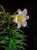 Easter Lily DSCN53137