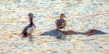 Ring-necked Duck Pair DSCN53175