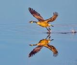 Goose Taking Flight DSCN53411