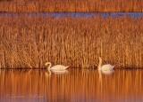 Two Mute Swans Beside River Grass At Sunrise DSCN53564
