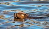 Swimming Beaver DSCN53528