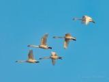 Five Trumpeter Swans In Flight DSCN53646