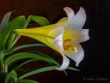 Easter Lily DSCN53132v2