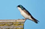 Tree Swallow Calling DSCN53821