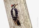 Male Hairy Woodpecker On A Pole DSCN54044