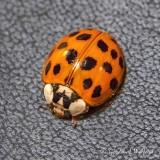 Asian Lady Beetle DSCN53906