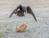 Crow Attacking A McDonald's Bag DSCN54211