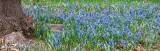 Patch Of Little Blue Wildfowers DSCN54249