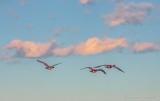 Three Geese In Flight DSCN54275