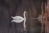 Mute Swan DSCN54512-4