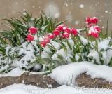 Red Tulips In 20210421 Snowfall DSCN55049-51