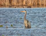 Great Blue Heron In The Swale DSCN55100