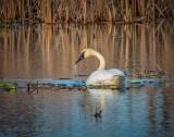 Dripping Trumpeter Swan DSCN55252
