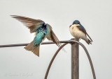 Tree Swallow Landing DSCN55595