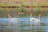 Four Trumpeter Swans & Canada Goose DSCN55678