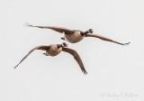Two Geese In Flight DSCN55675