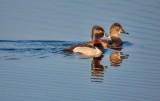 Ring-necked Duck Couple DSCN55785