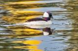 Male Bufflehead Duck DSCN55487