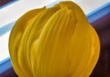 Yellow Tulip DSCN55768