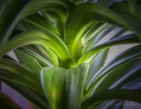 Easter Lily Leaves & Stalk DSCN55746