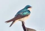 Tree Swallow DSCN55777