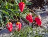 Snowy Red Tulips DSCN56073