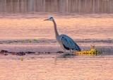 Heron In Irish Creek At Sunrise DSCN56183