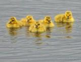 Five Goslings DSCN56342