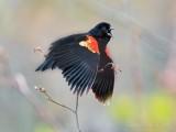 Red-winged Blackbird Calling DSCN55941