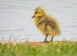 Gosling On Shore DSCN56510