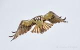 Osprey In Flight DSCN56682