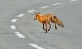 Red Fox Running Across A Highway DSCN57051