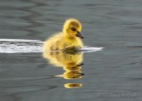 Gosling Reflected DSCN57121