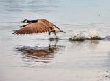 Canada Goose On The Run DSCN57073