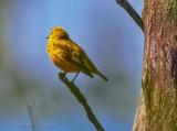 Yellow Warbler Warbling DSCN57425