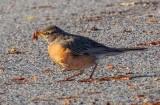 Early Bird Robin DSCN57372