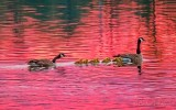 Canada Geese & Goslings At Sunrise DSCN57515