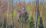 Great Blue Heron In A Nest DSCN57592