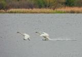 Two Trumpeter Swans Landing DSCN57676
