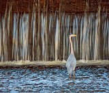 Great Blue Heron At Leaky Weir DSCN57700