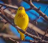 Yellow Warbler Warbling DSCN57849