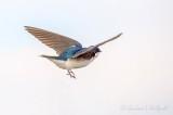 Tree Swallow In Flight DSCN57525