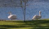 Town Swans On Turtle Island DSCN58209