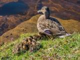 Mama Mallard & Her Eight Ducklings DSCN58262