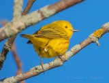 Yellow Warbler From Behind DSCN57860